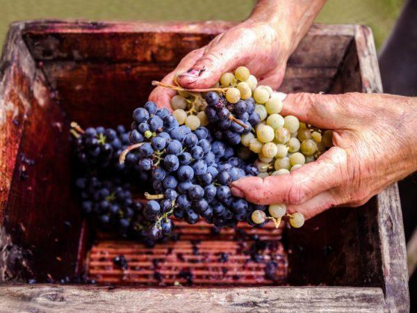 Как делать виноградный сок.